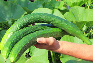 Cucumber-Chinese-Snake-A-Very-Crisp-Tender-Extra-Long-Cucumber-Variety