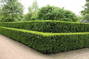 eibe taxus baccata heimische eibe 4j hrige jungpflanze 18 24 cm im topf ebay. Black Bedroom Furniture Sets. Home Design Ideas