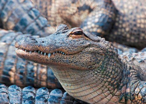 American Alligator 2-3D Lenticular Postcard Greeting Card