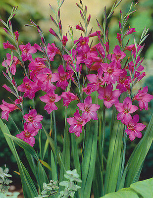10 X GLADIOLUS BYZANTINUS SIZE 5/7 BULBS VIOLET/RED FRESH FROM HOLLAND
