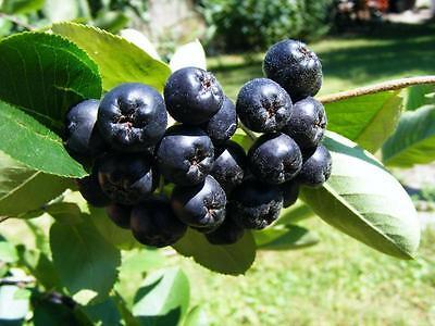 black bursa fig seeds very sweet Samen schwarze türkische Bursa Feige