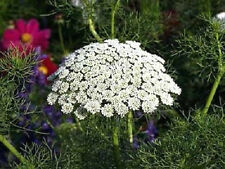 200 BISHOPS FLOWER Ammi Majus False Queen Annes Lace Seeds *Comb S/H