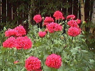 Peony Poppy- Bombast Red- 25 Seeds