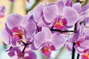Photo Wallpaper Mural 0158891D13 Nature Flower Flowers Orchid Orchids Garden