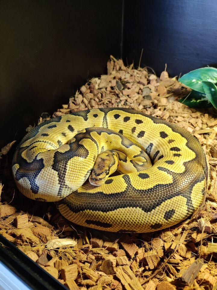 Slange, Kongepython