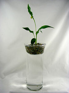 Peace Lily Fresh Water Aquarium And Terrarium With Live Plant Ebay