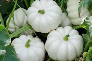 5-Casperita-F1-Hybrid-Pumpkin-Seeds-Mini-White-Pumpkin-Seeds-Combined-S-amp-H