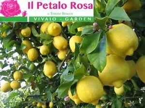 Pianta di limone citrus limon piante da frutta agrumi for Acquistare piante di agrumi