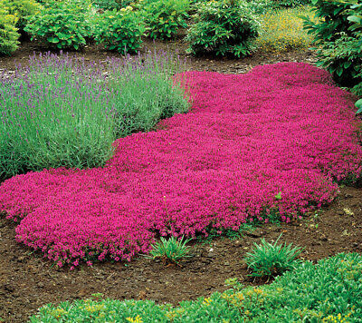 Creeping Thyme Seeds Rock Cress Ground, Creeping Jenny Ground Cover Seeds