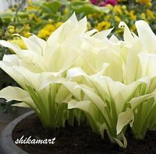 40pcs Hosta plantaginea Seeds Fragrant plantain Flower Fire And Ice Shade White