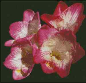 Flower pink freesia counted cross stitch chart no20 113 ebay image is loading flower pink freesia counted cross stitch chart no mightylinksfo