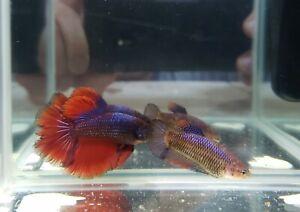 4 Month Red Blue Halfmoon Betta Pair