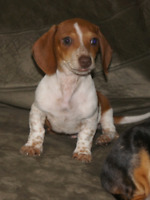 Dachshund Adopt Or Rehome Pets In Edmonton Kijiji Classifieds