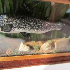 Artisan made dollhouse miniature salmon fish display case ~ 12th scale