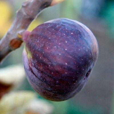Grow Your Own Edible Fruit French Fig Rouge de Bordeaux Fruit Plant
