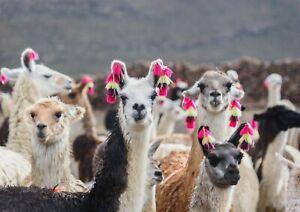 A1-Funny-Llamas-Poster-Art-Print-60-x-90cm-180gsm-Alpaca-Peru-Cool-Gift-15461