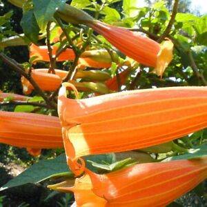 Rare-endangered-Brugmansia-vulcanicola-Beautiful-new-orange-form-Seeds