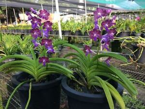 Orchid-species-Blooming-size-garden-plant-Vasco-tham-yuan-hae-x-braga-blue