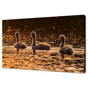 LITTLE SWAN CYGNETS SWIMMING IN A LAKE AT SUNSET CANVAS PRINT WALL ART PICTURE