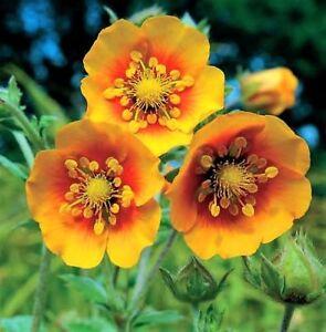 POTENTILLA-ARGYROPHYLLA-HIMALAYAN-CINQUEFOIL-40-seeds