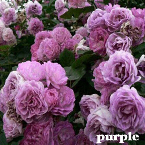 100X climbing rose rosa multiflora perennial fragrant flower seeds home decFBDC