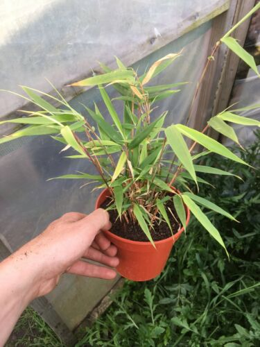 Fargesia rufa plant 1.5L potted plant clump forming.