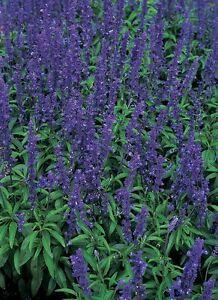 Salvia blue bedder seeds perennial flowers all summer evergreen cut image is loading salvia blue bedder seeds perennial flowers all summer mightylinksfo