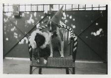 PHOTO ANCIENNE - VINTAGE SNAPSHOT-ANIMAL CHIEN DÉGUISEMENT CHAPEAU GAG DRÔLE-DOG