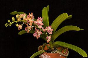BIN-Rhy. gigantea 'Peach' Collectors item! Very Fragrant! Foxtail Orchid!