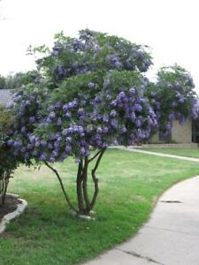 Image Is Loading Texas Mountain Laurel 15 Seeds Calia Sophora Secundiflora