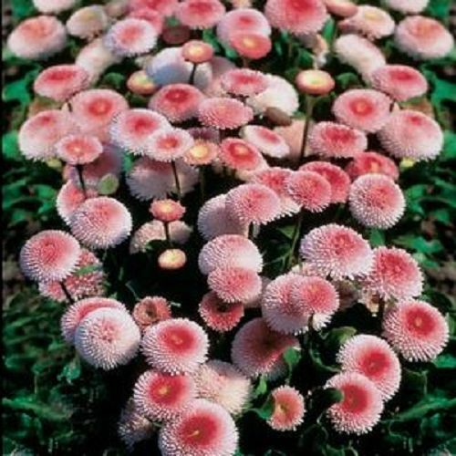 100 STRAWBERRIES & CREAM ENGLISH DAISY Bellis Perennis Flower Seeds *Comb S/H
