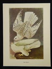 """Vintage 50's Audubon Birds of America 9 x 12""""  Print Single White Gyrfalcon"""