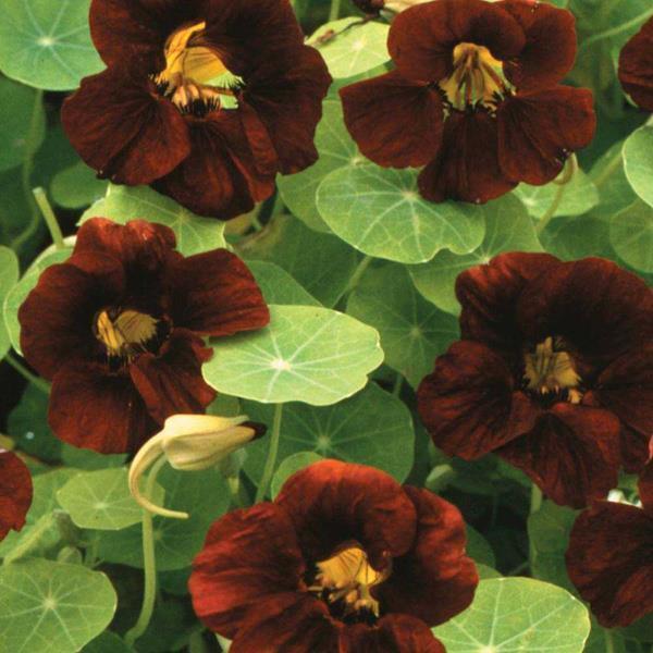 FLOWER NASTURTIUM TROPAEOLUM BLACK VELVET 65 SEEDS #4202