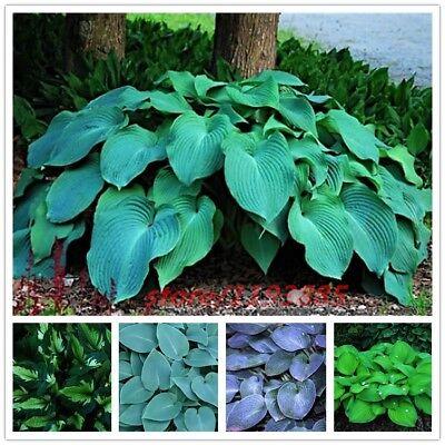 100 Pcs Bag Hosta Plants Hosta Whirl Wind In Full Shade Hosta
