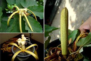 Bananenschalenblueten-Strauch-034-Pterospermum-acerifolum-034-Tellerbaum-Saatgut