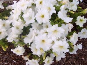 Petunia-Seeds-Super-Cascade-White-Pelleted-Seeds-Supercascade-50-200-Or-500