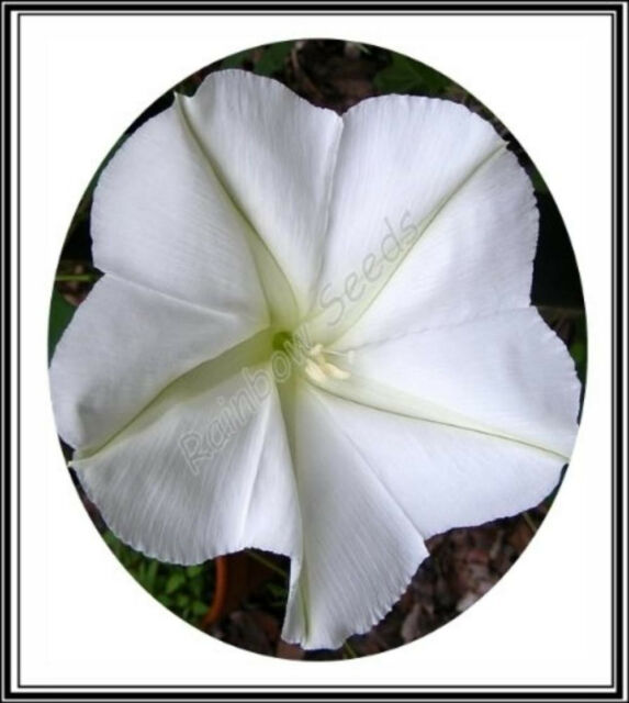 Original Package 20 Morning Glory Seed Ipomoea Ipomoea Cairica Garden Seeds A013