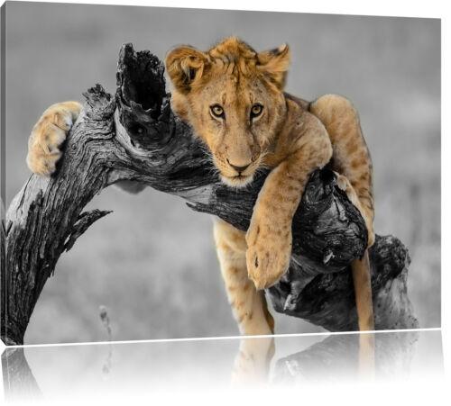 Junger Löwe in der Natur Leinwandbild Wanddeko Kunstdruck
