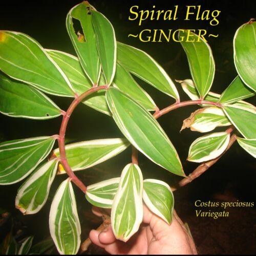 ~ Darcy ~ Costus Speciosus spirale Drapeau Ginger variegata Live petit pot plante