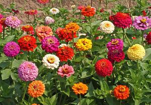 Bulk Seed ZINNIA Elegans Heirloom Pumila Mix Butterfly Dahlia Quality Wildflower