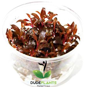 Alternanthera Reineckii Rosanervig Red Tissue Culture B2G1 Live Aquarium Plants