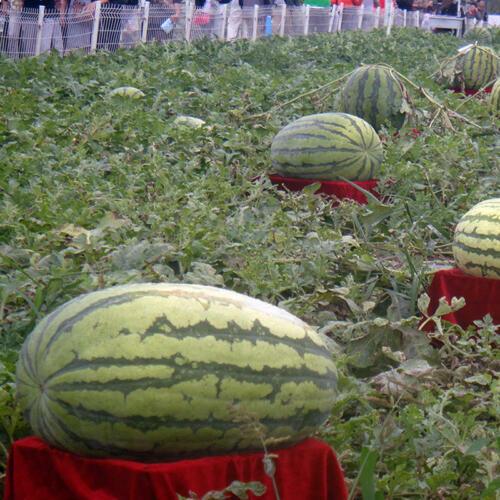 Giant Watermelon Seeds Black Tyrant King Super Sweet Garden Fruit UK STOCK