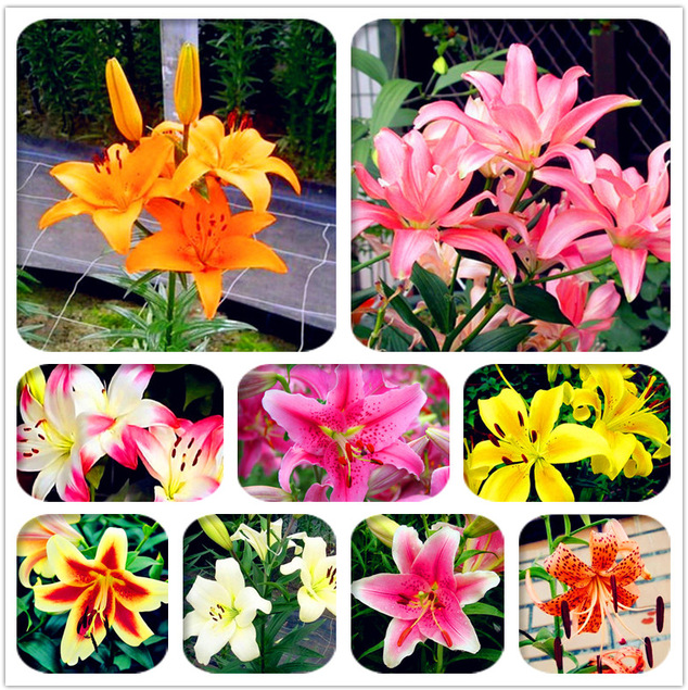 100 Pcs Seeds Lily Flowers Flores Plants Garden Bonsai Flower Easy To Grow NEW R