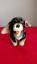 Steiff-5x-Articulado-Perro-Salsicha-Perro-034-Beppo-034 miniatura 1