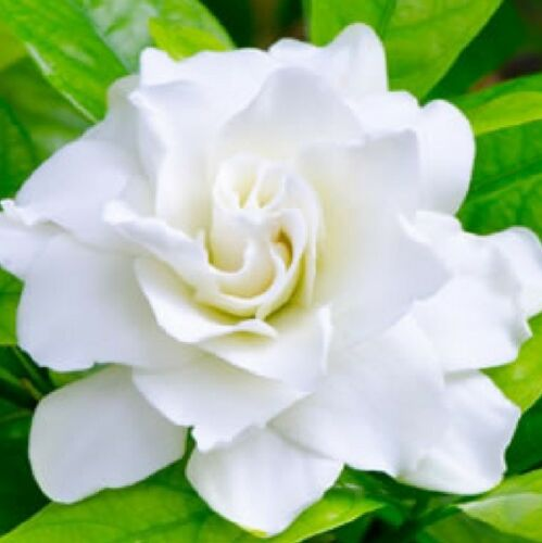 OCEAN PEARL Gardenia augusta highly perfumed double flowers plant in 140mm pot
