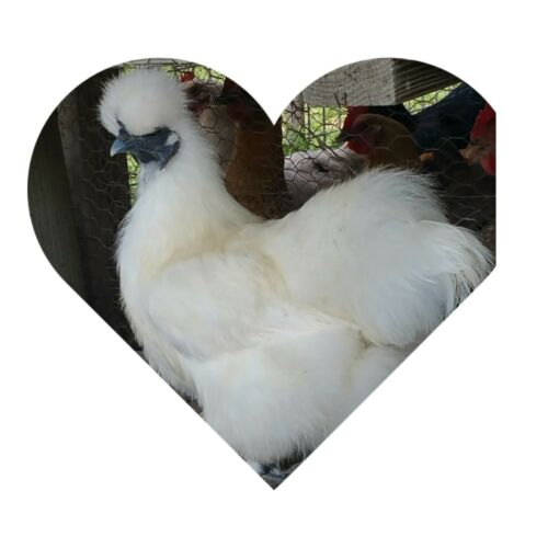 6 2 Extra  PURE WHITE SILKIE FERTILE HATCHING CHICKEN EGGS  **Free Shipping**