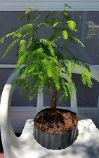 Bald cypress pre bonsai plant