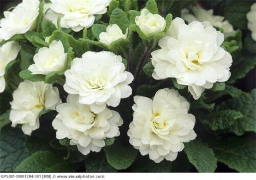 40 Pure White// Flower Seeds Reseeding Annual Primrose //Primula