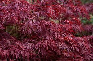 Acer Palmatum Dissectum Atropurpureum Cut Leaf Japanese Maple