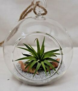 Air Plant Kit Glass Hanging Globe Terrarium With Sand Shells